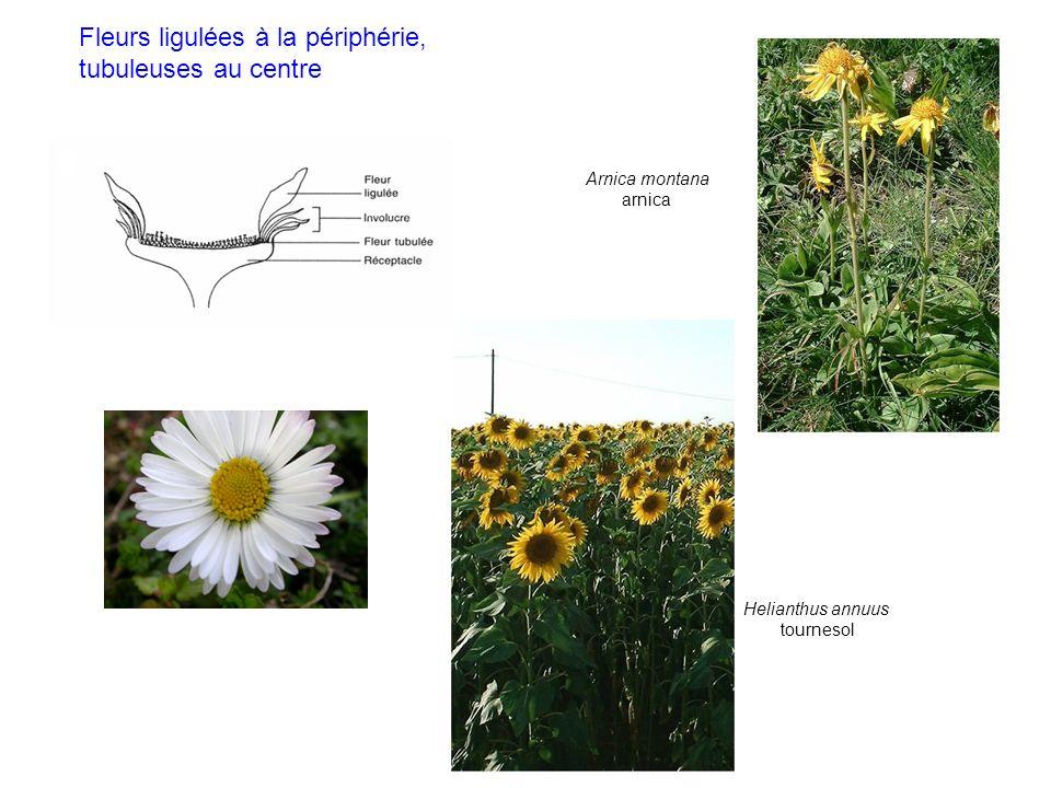 Arnica montana arnica Helianthus annuus tournesol Fleurs ligulées à la périphérie, tubuleuses au centre