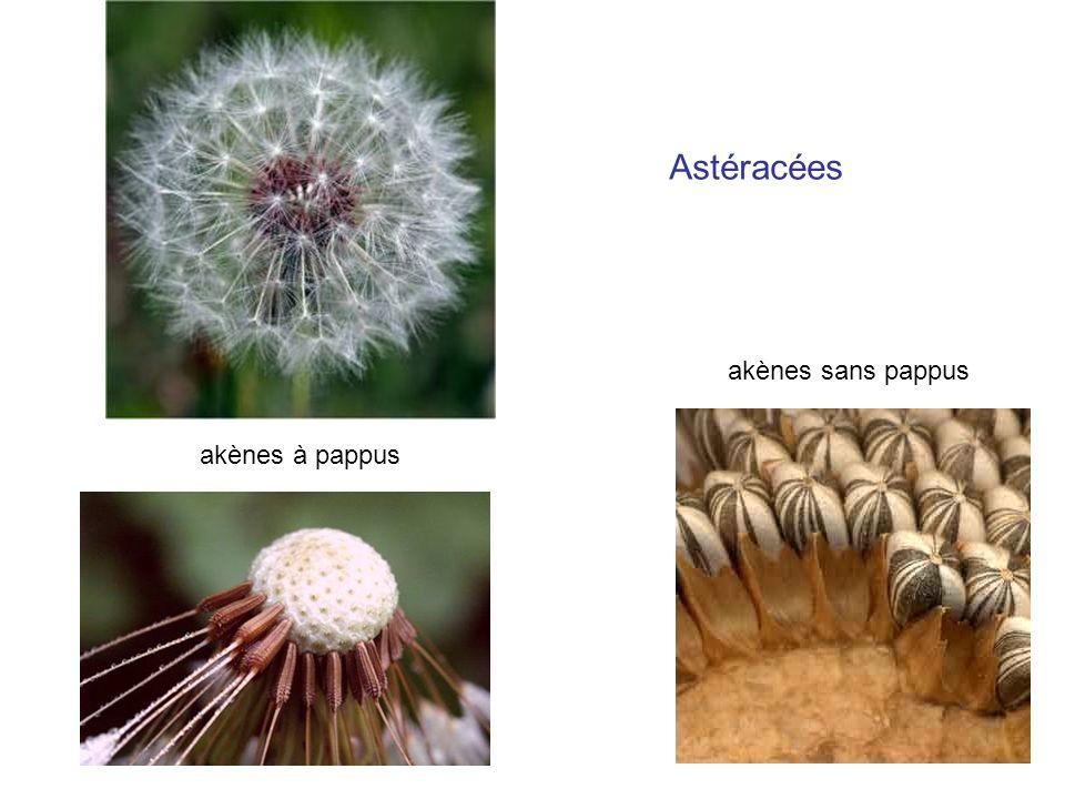 akènes à pappus akènes sans pappus Astéracées