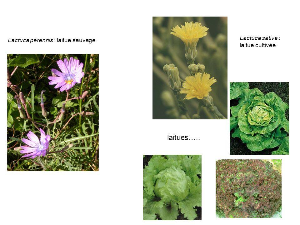 Lactuca perennis : laitue sauvage Lactuca sativa : laitue cultivée laitues…..
