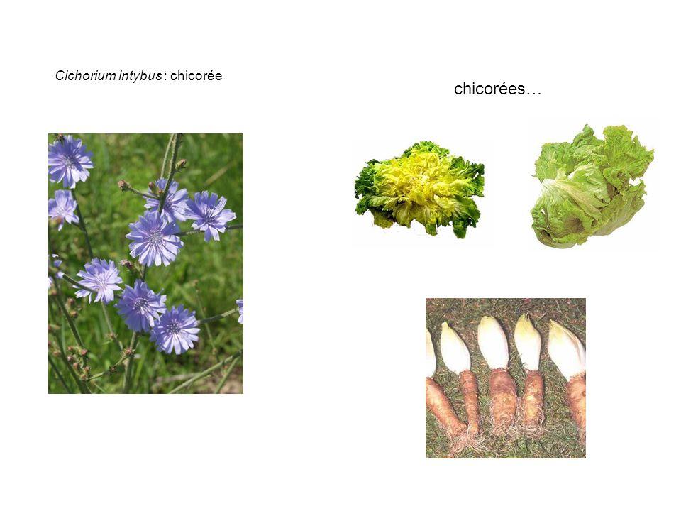 Cichorium intybus : chicorée chicorées…