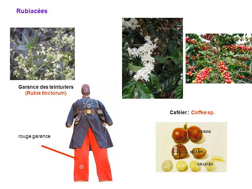 Garance des teinturiers (Rubia tinctorum) rouge garance Rubiacées Caféier : Coffea sp.