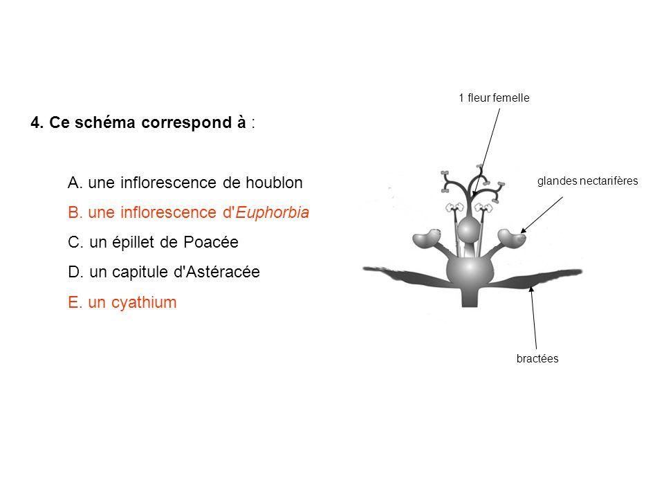4. Ce schéma correspond à : A. une inflorescence de houblon B. une inflorescence d'Euphorbia C. un épillet de Poacée D. un capitule d'Astéracée E. un