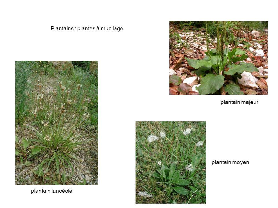 Bouillon blanc (Verbascum thapsus) poils tecteurs (au microscope) bouillon blanc digitale pourpre