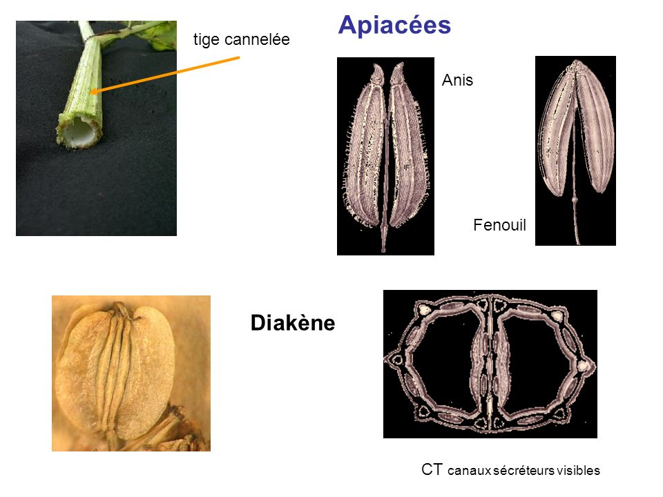 Apiacées tige cannelée Diakène CT canaux sécréteurs visibles Anis Fenouil