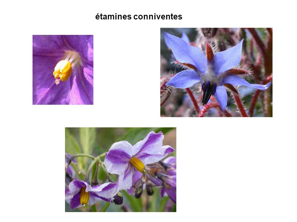 4.Ce schéma correspond à : A. une inflorescence de houblon B.