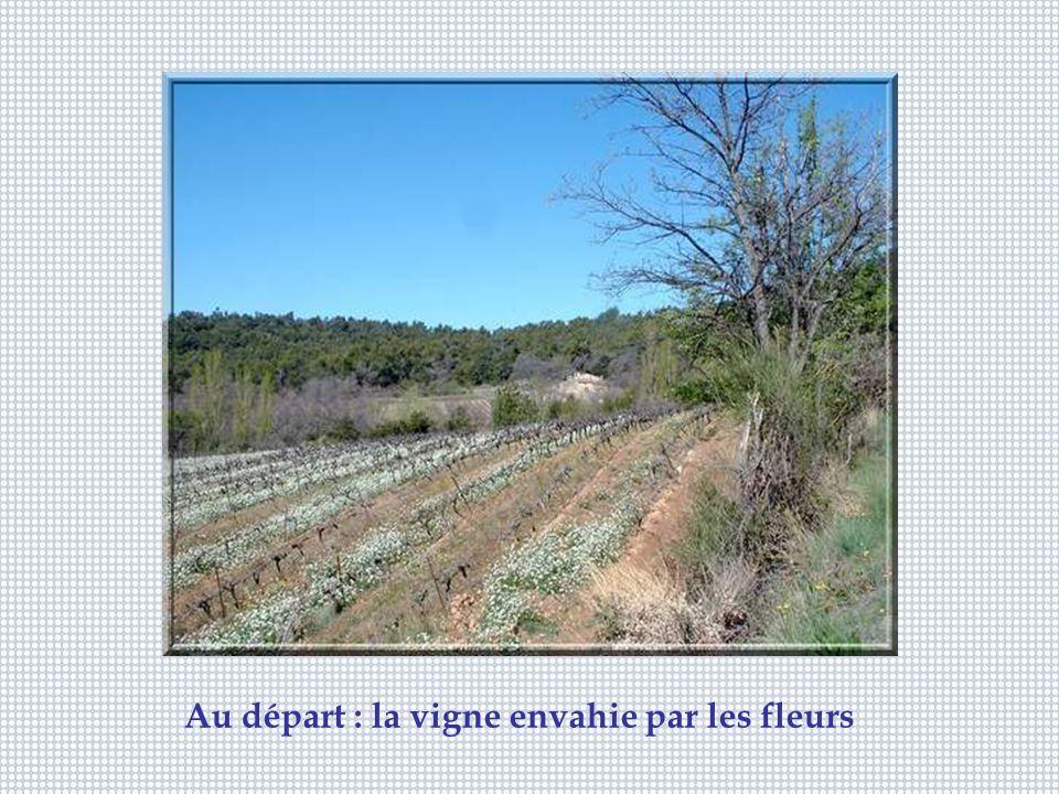 Au départ : la vigne envahie par les fleurs