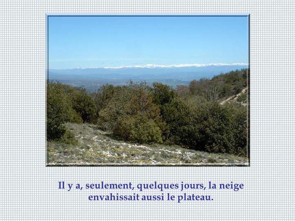 De minuscules jonquilles sauvages tapissent le plateau du Lubéron.