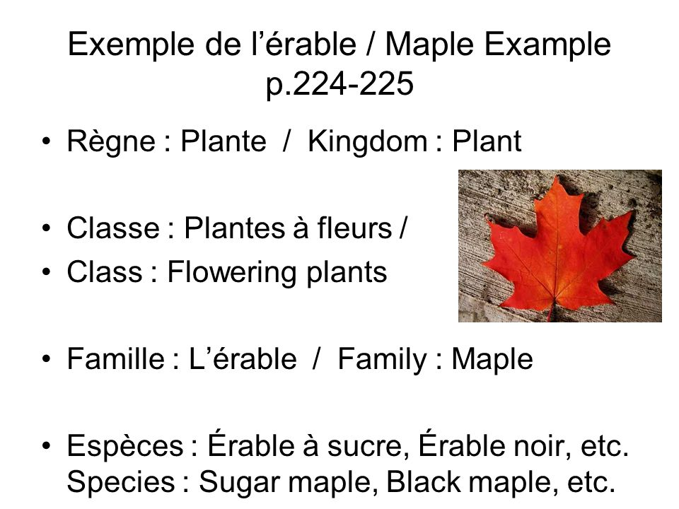 Exemple de lérable / Maple Example p.224-225 Règne : Plante / Kingdom : Plant Classe : Plantes à fleurs / Class : Flowering plants Famille : Lérable /