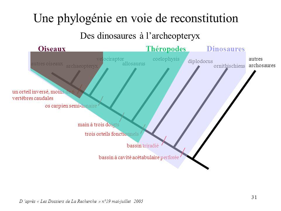 31 Une phylogénie en voie de reconstitution D après « Les Dossiers de La Recherche » n°19 mai-juillet 2005 autres oiseaux archaeopteryx velociraptor a