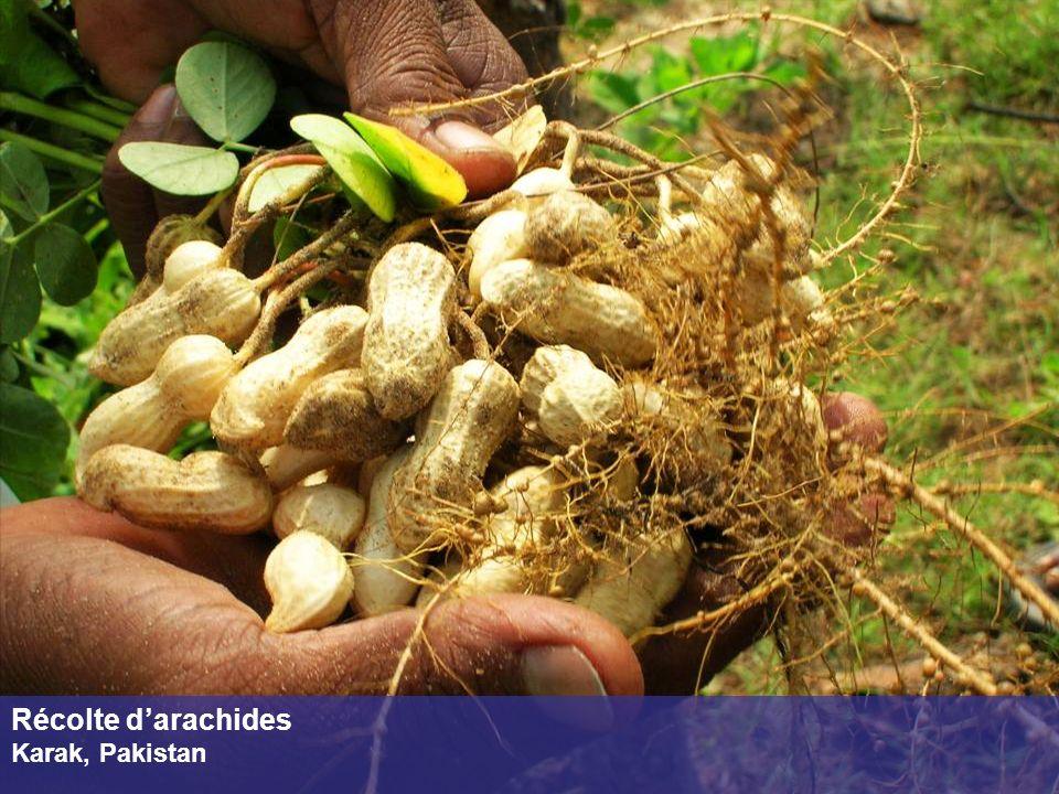 Récolte darachides Karak, Pakistan