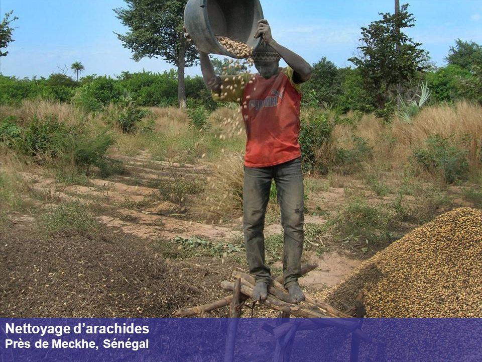 Nettoyage darachides Près de Meckhe, Sénégal