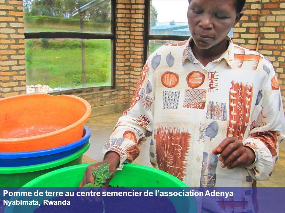 Pomme de terre au centre semencier de lassociation Adenya Nyabimata, Rwanda
