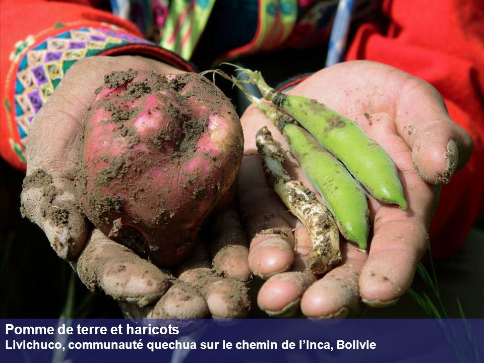 Repiquage des pousses de citronnier Papaye, Haïti