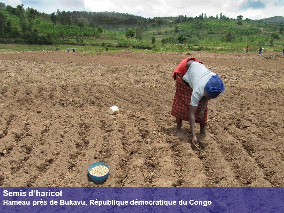 Semis dharicot Hameau près de Bukavu, République démocratique du Congo