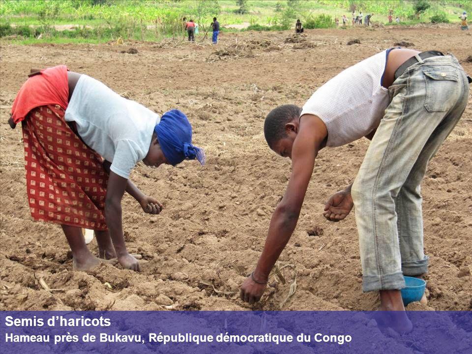 Semis dharicots Hameau près de Bukavu, République démocratique du Congo