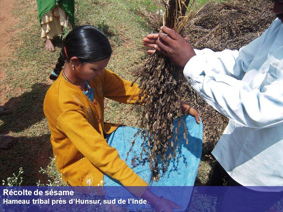 Récolte de sésame Hameau tribal près dHunsur, sud de lInde