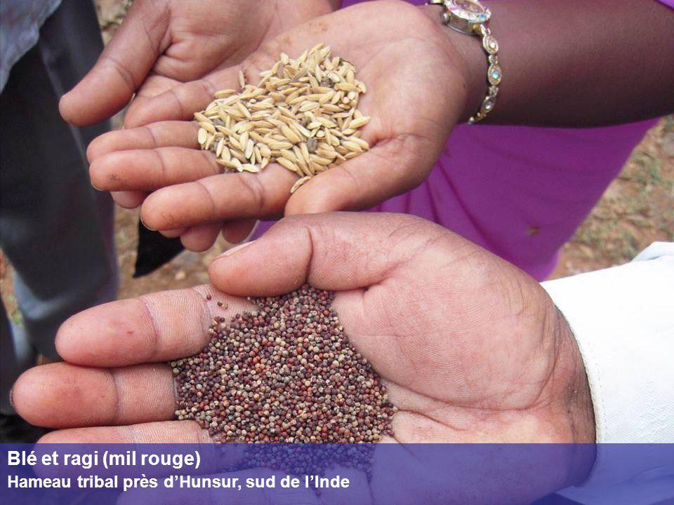 Blé et ragi (mil rouge) Hameau tribal près dHunsur, sud de lInde