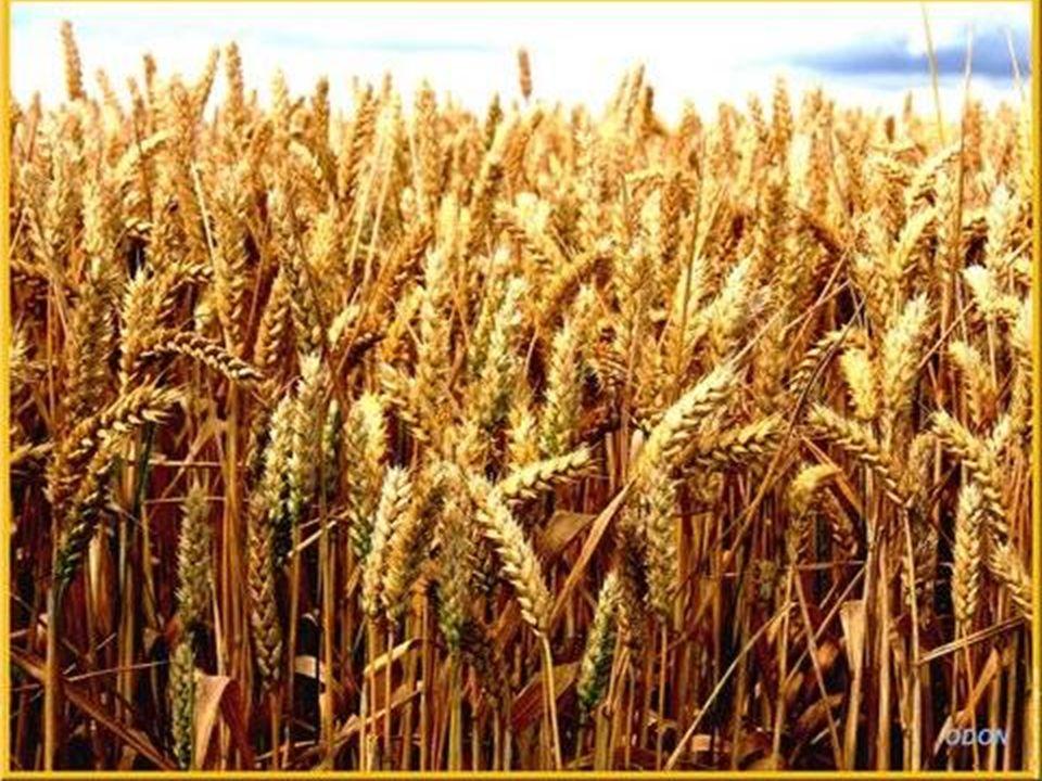 AOÛT Pour que la moisson soit abondante le soleil encore plus chaud dore et mûrit les blés