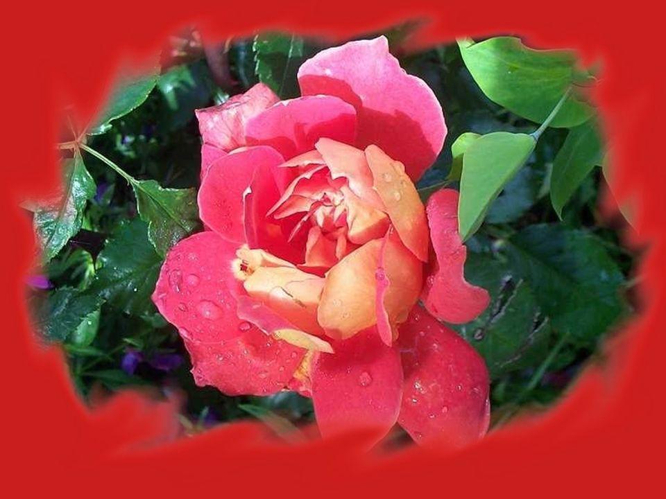 Saluons ce jardin de roses car il met mon cœur en émoi.. Tant de valeurs y sont encloses que tu sais tout autant que moi!
