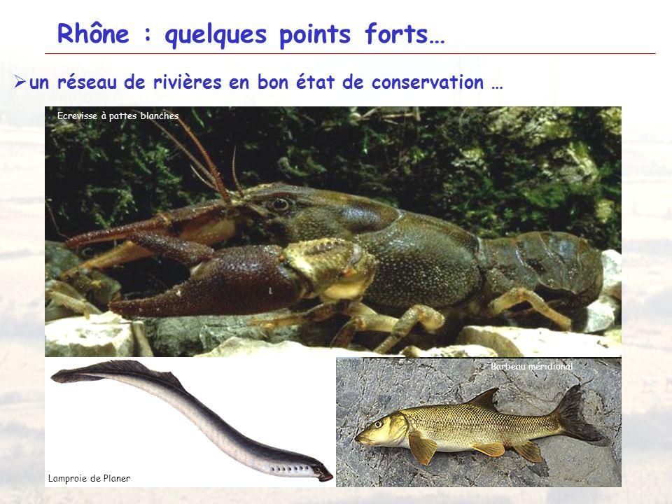 19 Rhône : quelques points forts… LAzergues Ecrevisse à pattes blanches Lamproie de Planer Barbeau méridional un réseau de rivières en bon état de con