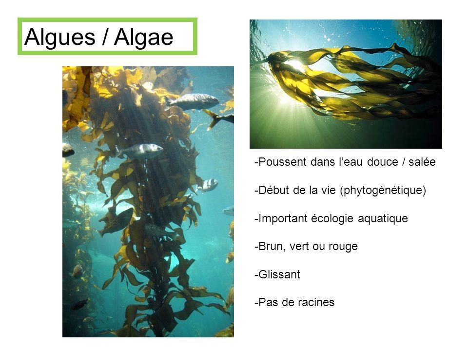 Algues / Algae -Poussent dans leau douce / salée -Début de la vie (phytogénétique) -Important écologie aquatique -Brun, vert ou rouge -Glissant -Pas d