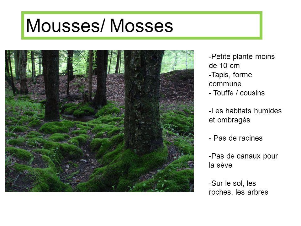 -Petite plante moins de 10 cm -Tapis, forme commune - Touffe / cousins -Les habitats humides et ombragés - Pas de racines -Pas de canaux pour la sève