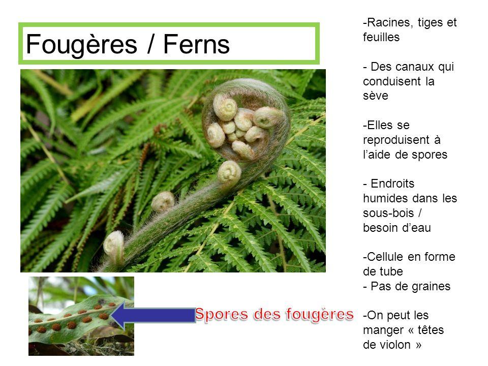 -Racines, tiges et feuilles - Des canaux qui conduisent la sève -Elles se reproduisent à laide de spores - Endroits humides dans les sous-bois / besoi