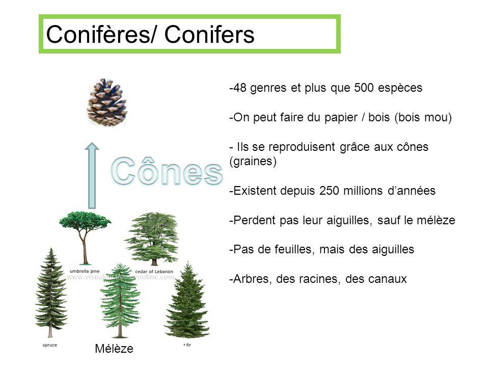 -48 genres et plus que 500 espèces -On peut faire du papier / bois (bois mou) - Ils se reproduisent grâce aux cônes (graines) -Existent depuis 250 mil