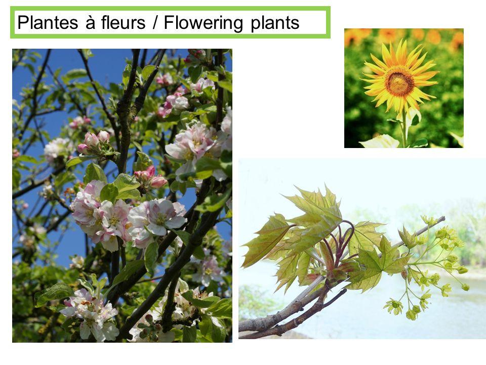 Plantes à fleurs / Flowering plants