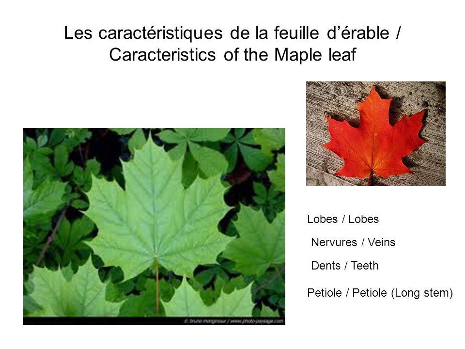 Les caractéristiques de la feuille dérable / Caracteristics of the Maple leaf Lobes / Lobes Nervures / Veins Dents / Teeth Petiole / Petiole (Long ste