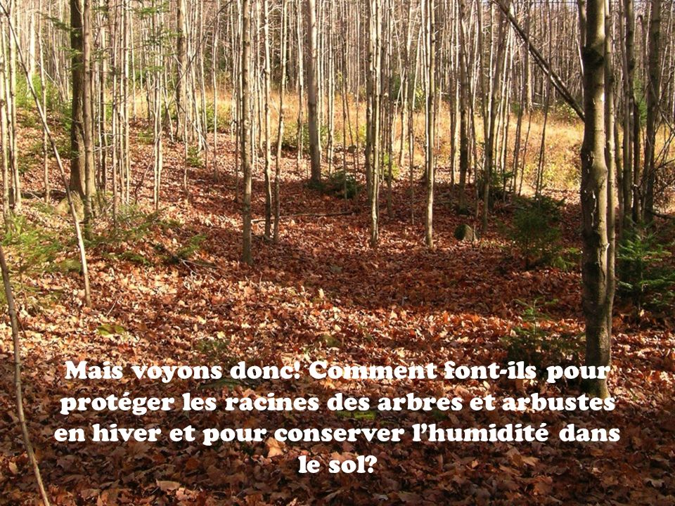 Mais voyons donc! Comment font-ils pour protéger les racines des arbres et arbustes en hiver et pour conserver lhumidité dans le sol?