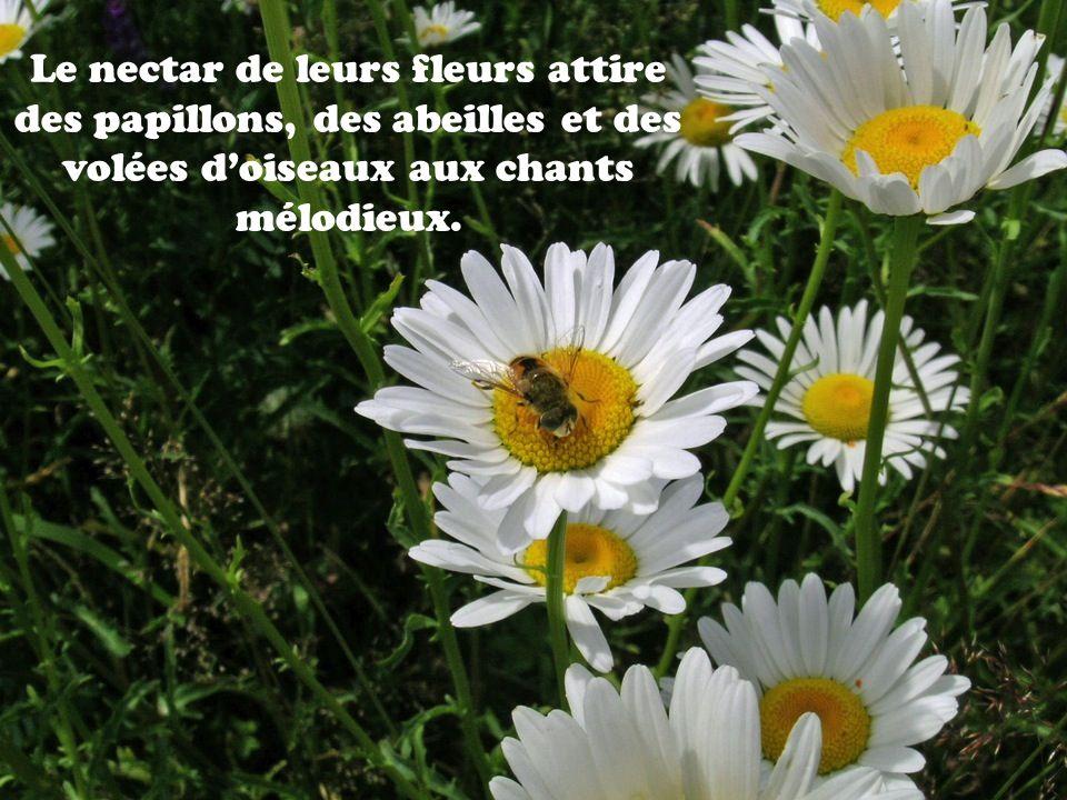 Le nectar de leurs fleurs attire des papillons, des abeilles et des volées doiseaux aux chants mélodieux.