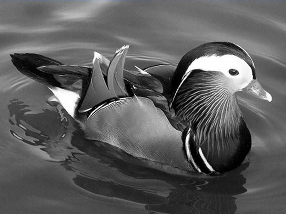 Un ruisseau gentiment suit son cours, un canard mandarin sy dandine.