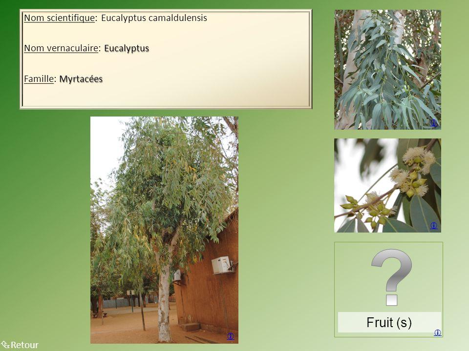 Nom scientifique: Eucalyptus camaldulensis Eucalyptus Nom vernaculaire: Eucalyptus Myrtacées Famille: Myrtacées Retour Fruit (s)