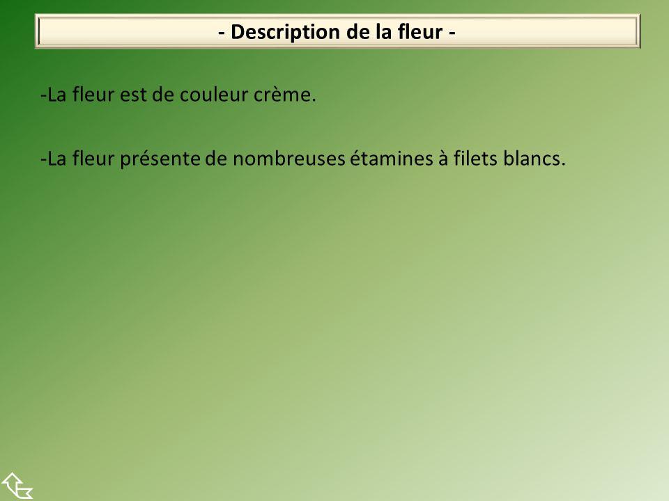 -La fleur est de couleur crème. -La fleur présente de nombreuses étamines à filets blancs. - Description de la fleur -