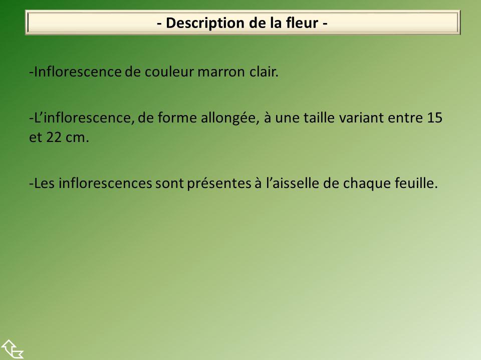 -Inflorescence de couleur marron clair. -Linflorescence, de forme allongée, à une taille variant entre 15 et 22 cm. -Les inflorescences sont présentes