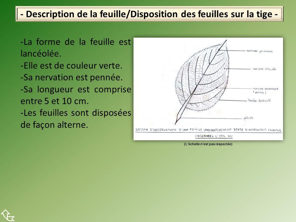 - Description de la feuille/Disposition des feuilles sur la tige - -La forme de la feuille est lancéolée. -Elle est de couleur verte. -Sa nervation es