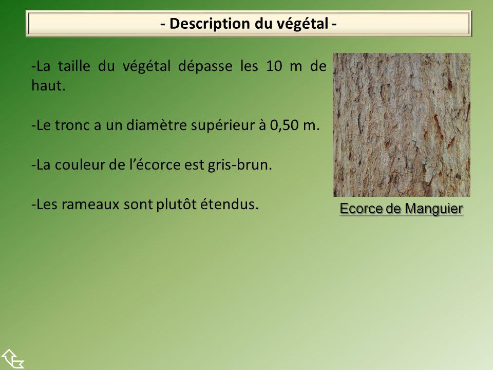 - Description du végétal - -La taille du végétal dépasse les 10 m de haut. -Le tronc a un diamètre supérieur à 0,50 m. -La couleur de lécorce est gris