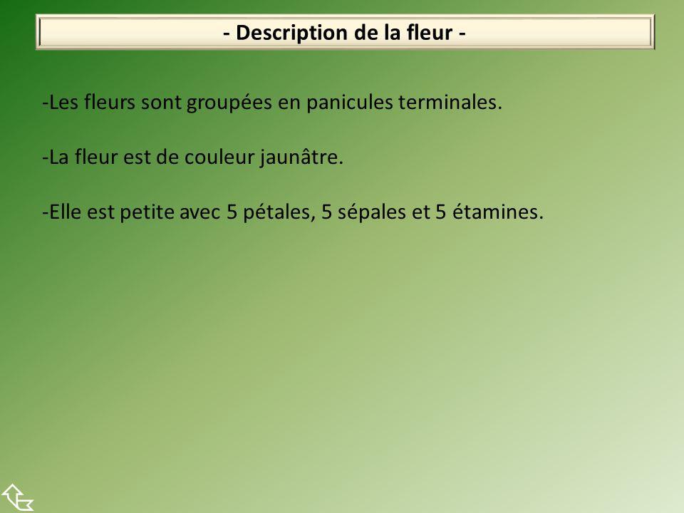 - Description de la fleur - -Les fleurs sont groupées en panicules terminales. -La fleur est de couleur jaunâtre. -Elle est petite avec 5 pétales, 5 s