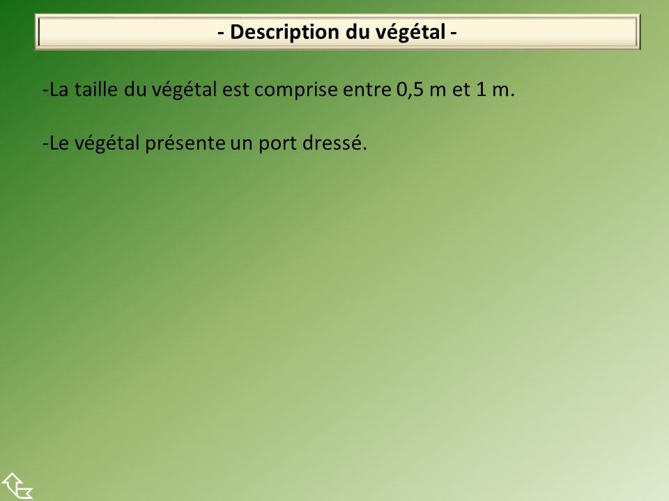 - Description du végétal - -La taille du végétal est comprise entre 0,5 m et 1 m.