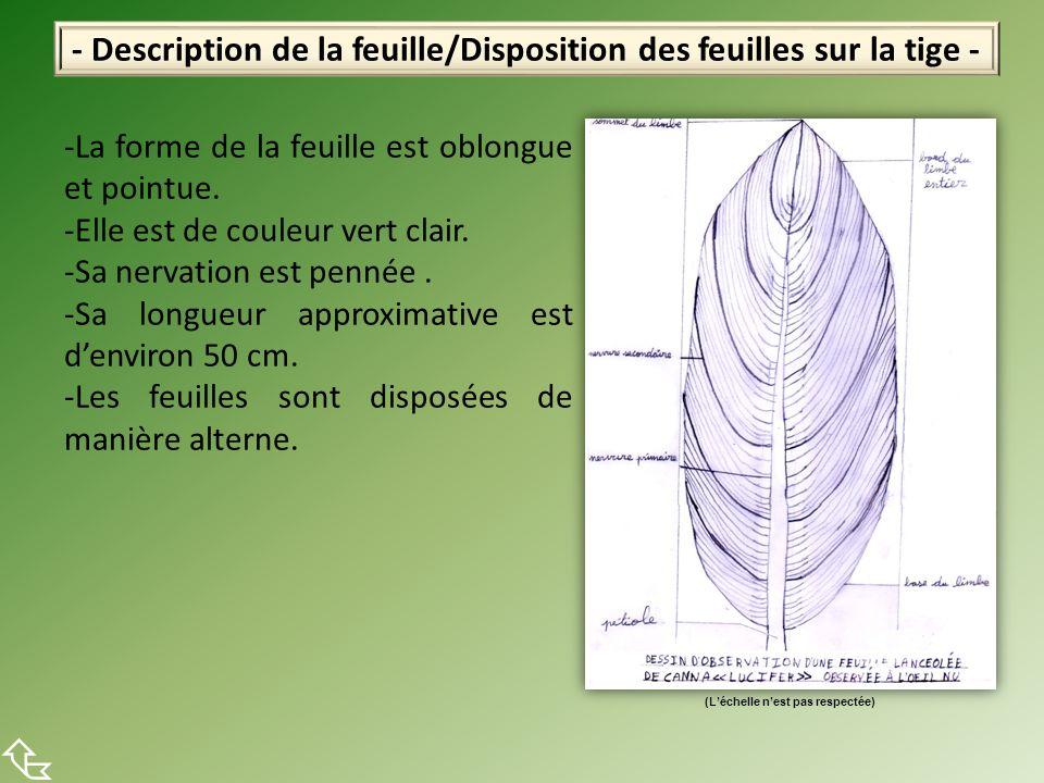 - Description de la feuille/Disposition des feuilles sur la tige - -La forme de la feuille est oblongue et pointue. -Elle est de couleur vert clair. -