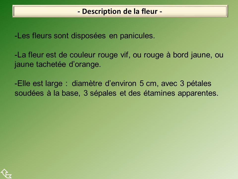 - Description de la fleur - -Les fleurs sont disposées en panicules. -La fleur est de couleur rouge vif, ou rouge à bord jaune, ou jaune tachetée dora
