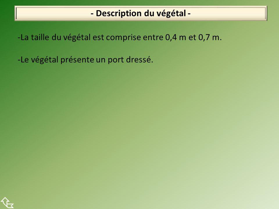 - Description du végétal - -La taille du végétal est comprise entre 0,4 m et 0,7 m. -Le végétal présente un port dressé.