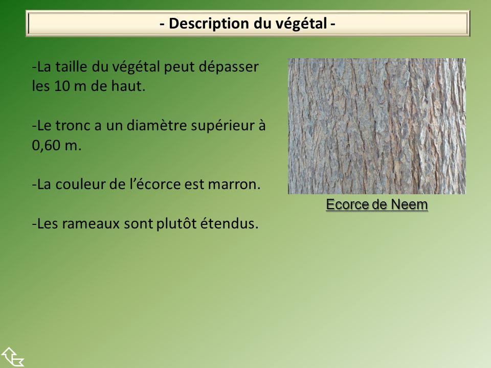 - Description du végétal - Ecorce de Neem -La taille du végétal peut dépasser les 10 m de haut. -Le tronc a un diamètre supérieur à 0,60 m. -La couleu