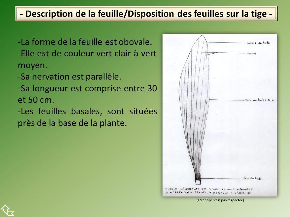 - Description de la feuille/Disposition des feuilles sur la tige - -La forme de la feuille est obovale. -Elle est de couleur vert clair à vert moyen.