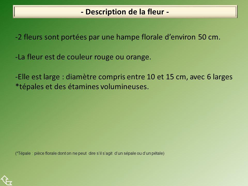 - Description de la fleur - -2 fleurs sont portées par une hampe florale denviron 50 cm. -La fleur est de couleur rouge ou orange. -Elle est large : d