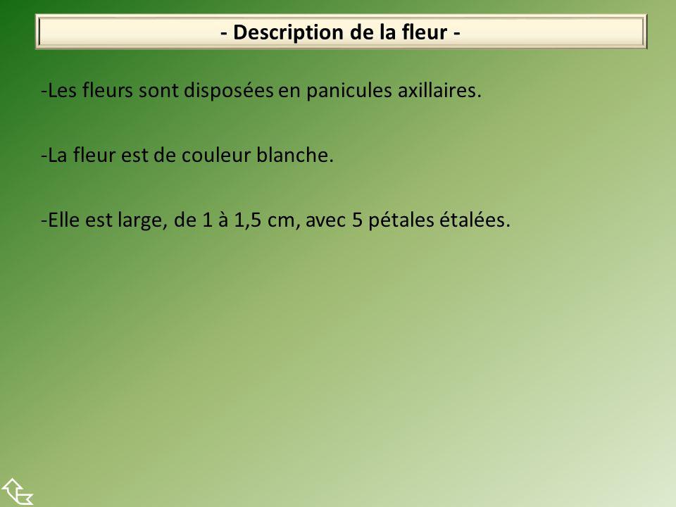 -Les fleurs sont disposées en panicules axillaires. -La fleur est de couleur blanche. -Elle est large, de 1 à 1,5 cm, avec 5 pétales étalées. - Descri