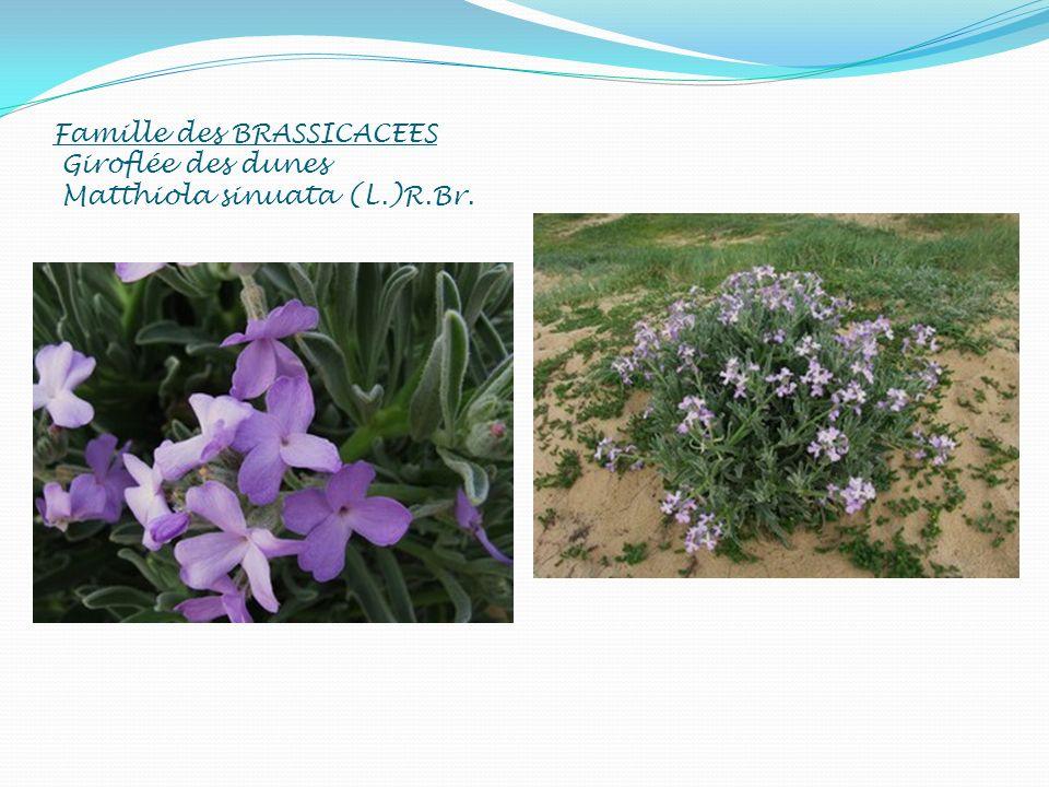 Famille des BRASSICACEES Giroflée des dunes Matthiola sinuata (L.)R.Br.
