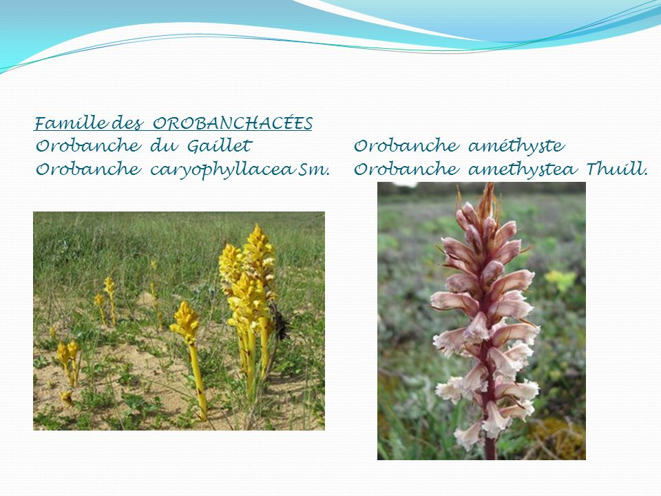 Famille des OROBANCHACÉES Orobanche du Gaillet Orobanche caryophyllacea Sm. Orobanche améthyste Orobanche amethystea Thuill.
