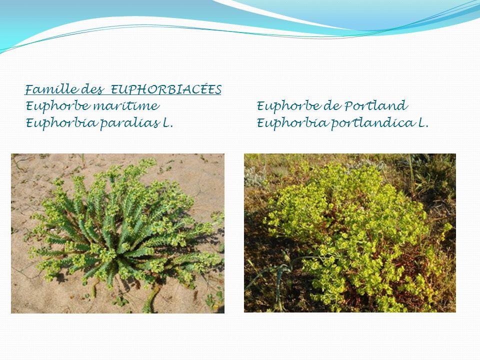 Famille des EUPHORBIACÉES Euphorbe maritime Euphorbia paralias L. Euphorbe de Portland Euphorbia portlandica L.